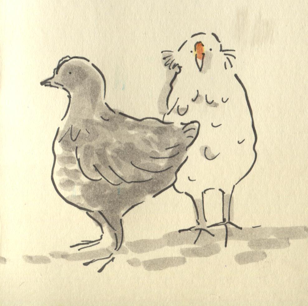 chicks at 6 weeks