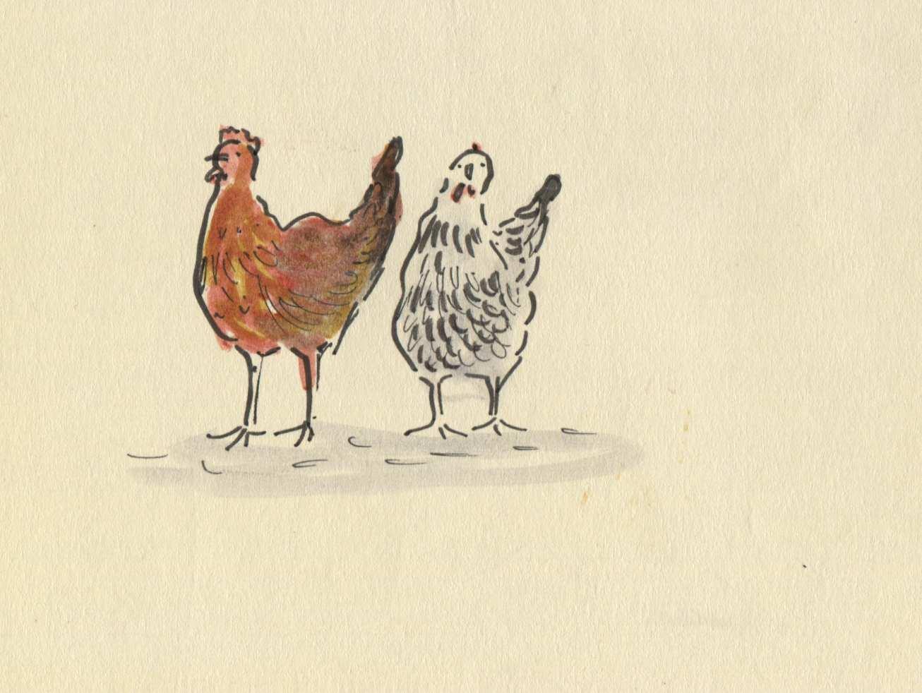 new chicks